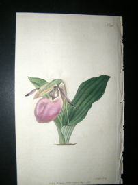 Curtis 1792 Hand Col Botanical Print. Two Leaved Lady's Slipper 192 Orchid